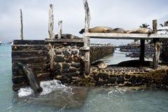 Sea lion relaxes against Puerto Ayora, Galápagos Royalty Free Stock Photos