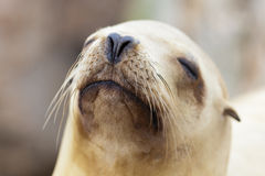 Sea Lion relaxing in the California Sun Stock Image