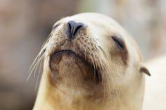 Sea Lion Relaxing In The California Sun Stock Image