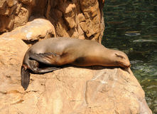 Sea lion resting Royalty Free Stock Photography