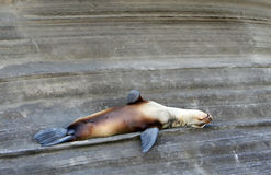 Sea Lion Resting Royalty Free Stock Photos