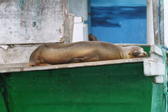Sea Lion resting on a boat Royalty Free Stock Photos