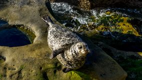 Sea lion resting on cliffs stock images