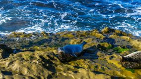 Sea lion resting on cliffs. No are given. stock photos