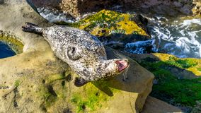 Sea lion resting on cliffs. No are given. stock image
