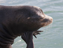 Sea Lion Resting on Flipper Stock Photo