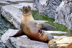 Sea lion resting on a rock.Their range extends from the subarctic to tropical waters of the global ocean stock photos