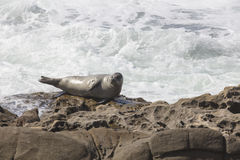 Sea Lion resting on a rocky cliff in front of the waves at La Jo Stock Photo