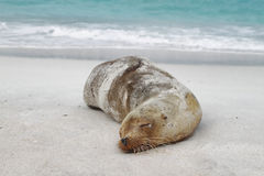 Sea Lion resting on the sand. In La Espanola island, galapagos, Ecuador Royalty Free Stock Images