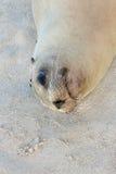 Sea Lion resting on the sand. In Santa Fe island, Galapagos, Ecuador Stock Image