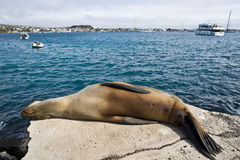 Sea lion resting under the sun Stock Image