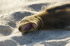 Sea lion resting under the sun, Galapagos Stock Image