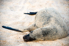 Sea lion resting under the sun, Galapagos Royalty Free Stock Images