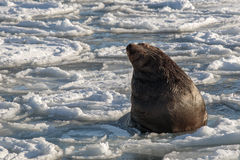 Sea lion rests on an ice floe Royalty Free Stock Photos