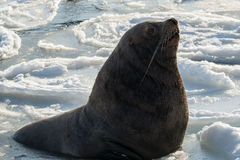Sea lion rests on an ice floe Stock Photography