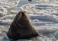 Sea lion rests on an ice floe Stock Photos