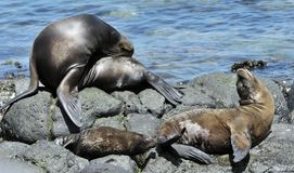 A Sea Lion rests on the rocky shoreline of the Galapagos Islands Stock Photo