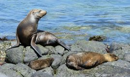 A Sea Lion rests on the rocky shoreline of the Galapagos Islands Royalty Free Stock Photography
