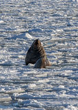 Sea lion roars in the ice Royalty Free Stock Photography
