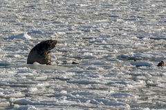 Sea lion roars in the ice. Sea lion roars loudly on an ice floe Stock Photos