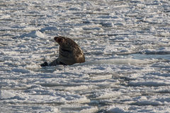 Sea lion roars in the ice. Sea lion roars loudly on an ice floe Royalty Free Stock Images