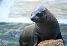 Sea lion on rock Royalty Free Stock Photos