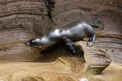 A sea lion on the rock Stock Photo
