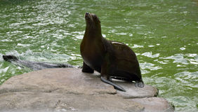 Sea lion on rock. Sea lion sitting on rock Stock Images