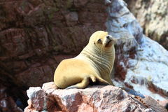 Sea lion on rocks. Closeup of sea lion basking on rocks Royalty Free Stock Photo