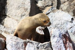 Sea lion on rocks. Closeup of sea lion on rocks outdoors Royalty Free Stock Images