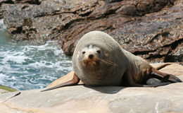 Sea lion on rocks. Looking at camera, new zealand Stock Photo
