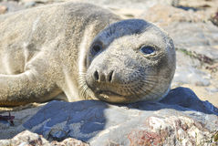 Sea lion on the rocks Royalty Free Stock Photos