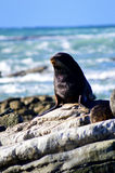 Sea lion on the rocks. Enjoying the sun on a cold day with the sea in the background Royalty Free Stock Photography