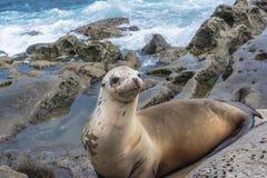 Sea lion on the rocks, La Jolla, California Stock Images