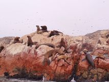 Sea lion on rocks Royalty Free Stock Photos