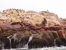 Sea lion on the rocks Royalty Free Stock Images