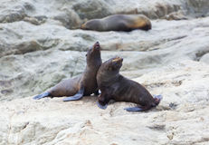 Sea Lion's life. A group of Hooker's Seal Lions on a rock by the New Zealand coast Royalty Free Stock Photography