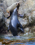 Sea Lion's life Royalty Free Stock Photography