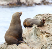 Sea Lion's life. Hooker's Seal Lions on a rock on the New Zealand coast Stock Photo