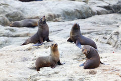 Sea Lion's life. A group of Hooker's Seal Lions on a rock by the New Zealand coast Royalty Free Stock Image