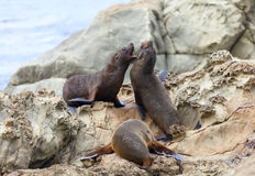 Sea Lion's life. Hooker's Seal Lions on a rock on the New Zealand coast Royalty Free Stock Photography