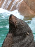A sea lion's portrait Royalty Free Stock Images