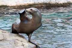 Sea lion salute Stock Image