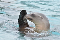 Sea lion salute 2 Royalty Free Stock Photo
