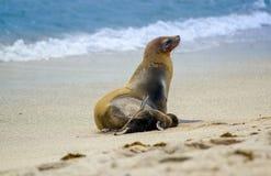 Sea lion in san cristobal galapagos islands Stock Photography