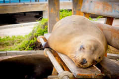 Sea lion in san cristobal galapagos islands Stock Photo