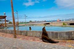 Sea lion in san cristobal galapagos islands Stock Photos