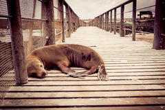 Sea lion in san cristobal galapagos islands Royalty Free Stock Photography