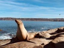 Sea lion stock photography