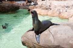 Sea lion in San Diego Sea World Stock Photography